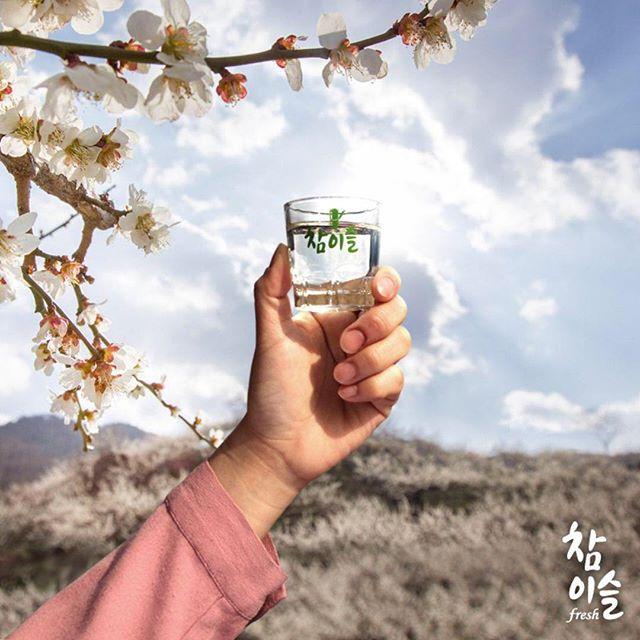 매화 꽃망울이 전하는 봄 소식 봄 향기가 가득♥️